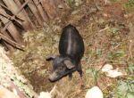Un des porcinets de Thimoté