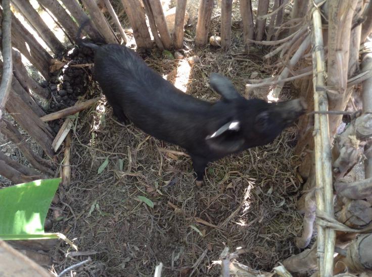 pour le projet élevage de porc, une phase d'expérimentation en cours